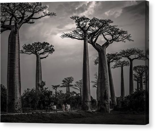 Baobab Highway Canvas Print