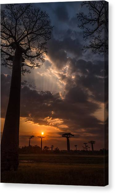 Baobab Sunrays Canvas Print