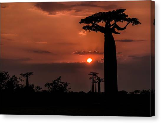 Baobab Sunrise Canvas Print