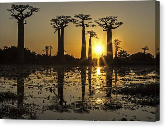 Baobab Sunset Canvas Print