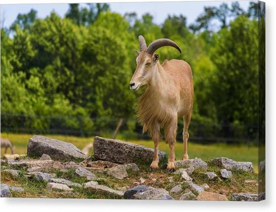 Canvas Print featuring the photograph Barbary Sheep by Garvin Hunter