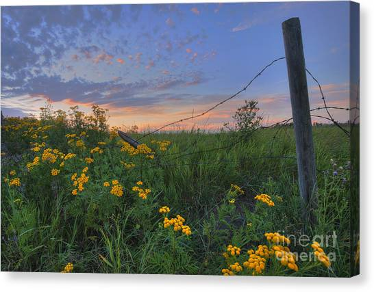 Barbed Wire And Common Tansy Canvas Print