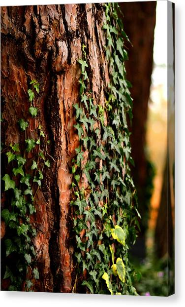 Bark And Ivy Canvas Print by Jacqui Collett