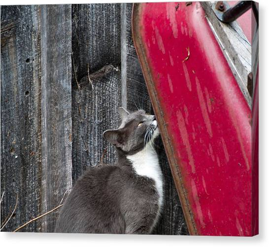 Barn Cat Canvas Print by Nickaleen Neff