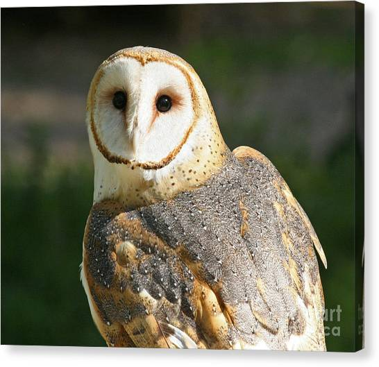 Barn Owl In Bright Sun Canvas Print