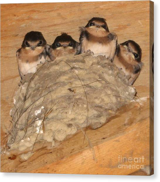 Barn Swallow Chicks 2 Canvas Print