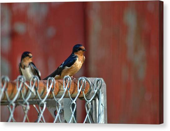 Barn Swallow Canvas Print