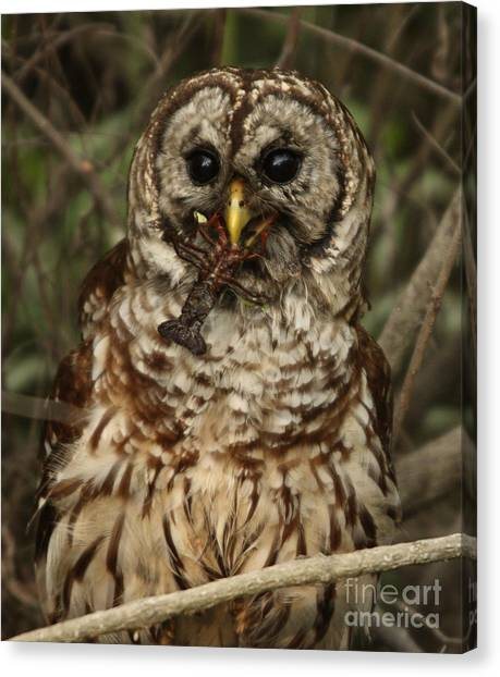 Barred Owl Eating Crawfish Canvas Print by Kelly Morvant