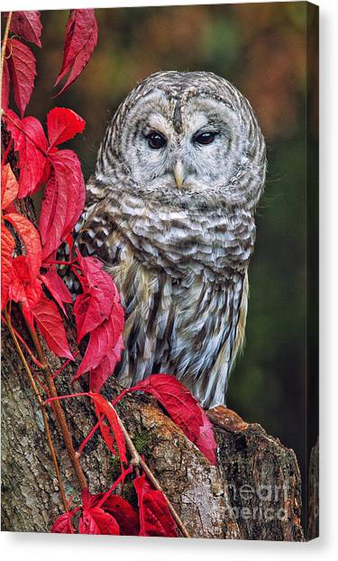 Barred Owl II Canvas Print by Todd Bielby