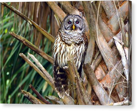 Barred Owl In Palm Tree Canvas Print