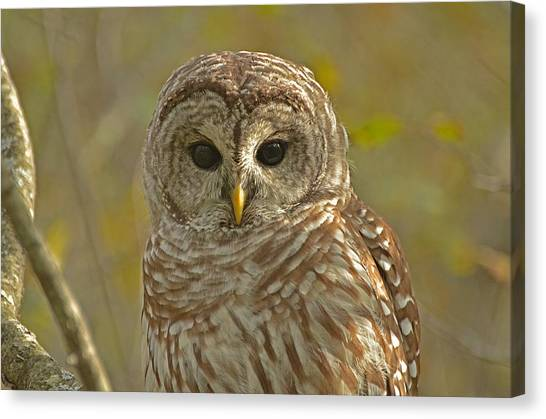 Barred Owl Looking At You Canvas Print by Nancy Landry