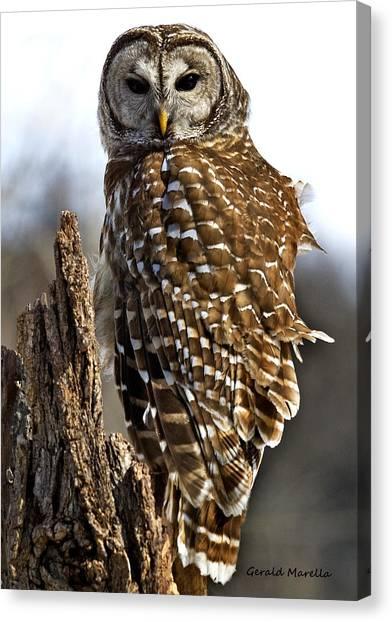 Barred Owl Portrait 1 Canvas Print by Gerald Marella
