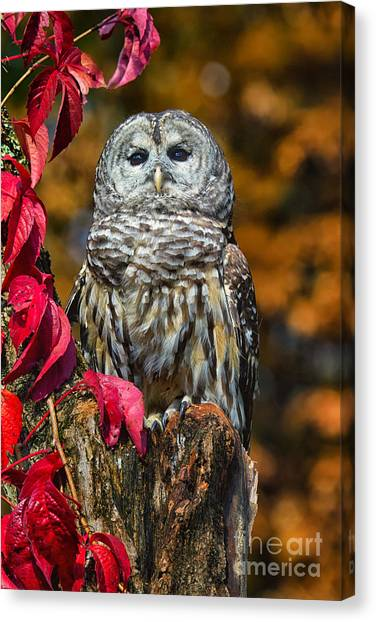 Barred Owl Canvas Print by Todd Bielby