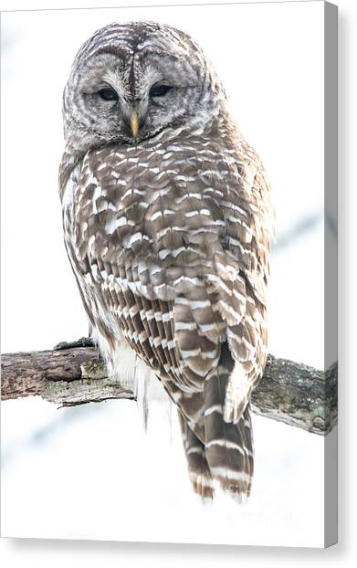 Barred Owl2 Canvas Print