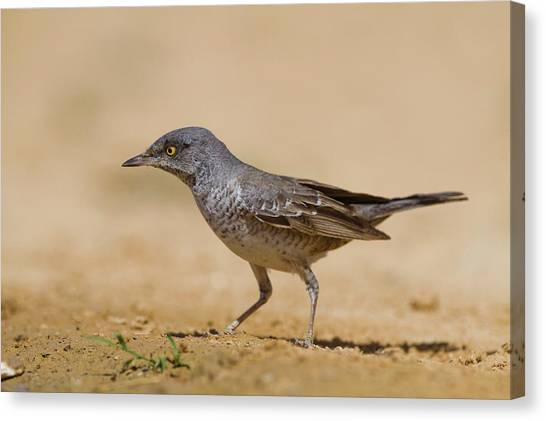 Negev Desert Canvas Print - Barred Wrabler (sylvia Nisoria) by Photostock-israel