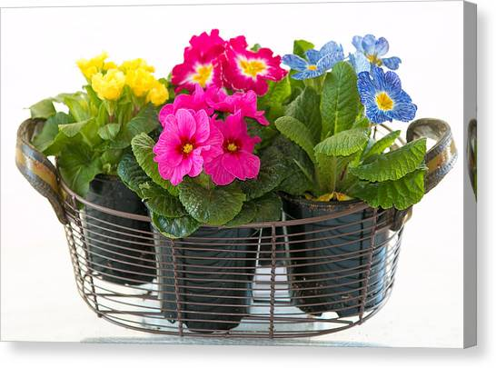 Basket Of Primroses Canvas Print