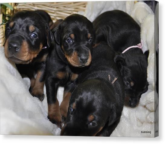 Basket Of Puppies Canvas Print by Sue Rosen