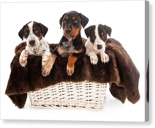 Rottweilers Canvas Print - Basket Of Rottweiler Mixed Breed Puppies by Susan Schmitz
