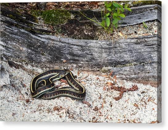 Venemous Snakes Canvas Print - Basking Common Garter Snake by Michael Russell