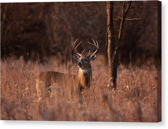 Basking In The Light - White-tailed Buck Canvas Print by Jim Cumming