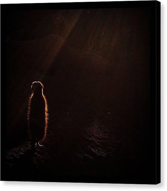 Meerkats Canvas Print - Basking by Seth Vincent