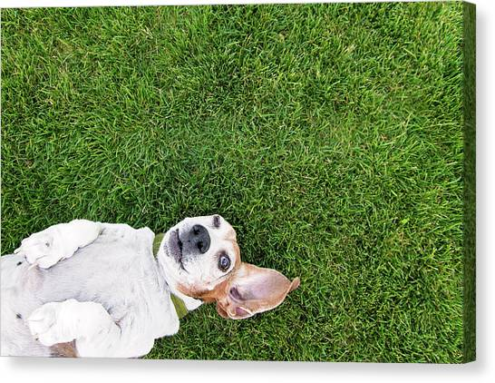 Bassett Hound On Back Canvas Print by Paws On The Run Photography