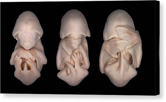 Mastiffs Canvas Print - Bat Embryos by Dorit Hockman