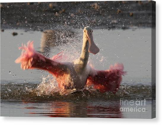 Bath Time - Roseate Spoonbill Canvas Print