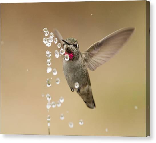 Bath Time For Anna's Hummingbird Canvas Print