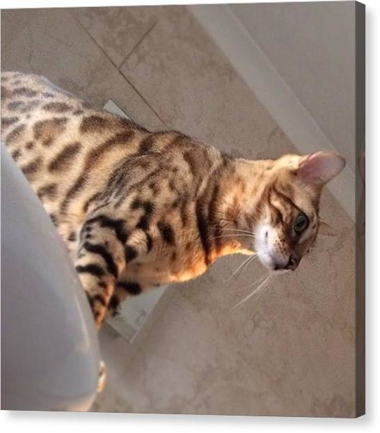 Bengals Canvas Print - #bathtime #visitor #cat #leopardprint by Ashley Grant