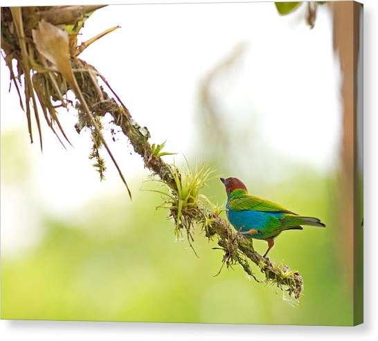 Bay-headed Tanager Canvas Print by Brian Magnier