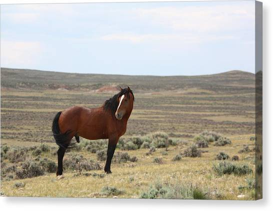 Bay Mustang Stallion In Wyoming Canvas Print