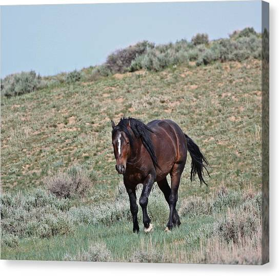 Bay Mustang Stallion Canvas Print