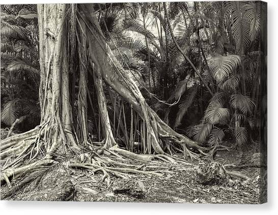 Strangler Fig Canvas Print