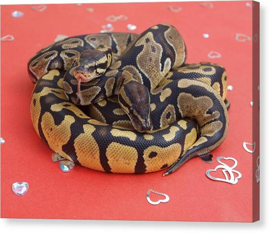 Ball Pythons Canvas Print - Be My Valentine by Charleston  Scicluna