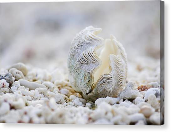 Clams Canvas Print - Beach Clam by Sean Davey