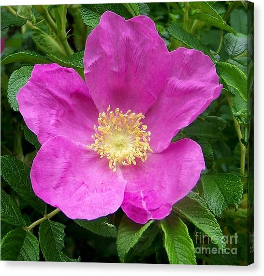 Pink Beach Rose Fully In Bloom Canvas Print