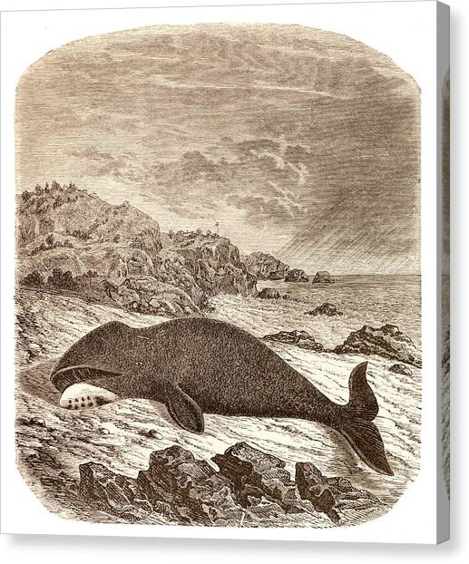 Drown Canvas Print - Beached Or Stranded Northern Whale by David Parker/science Photo Library