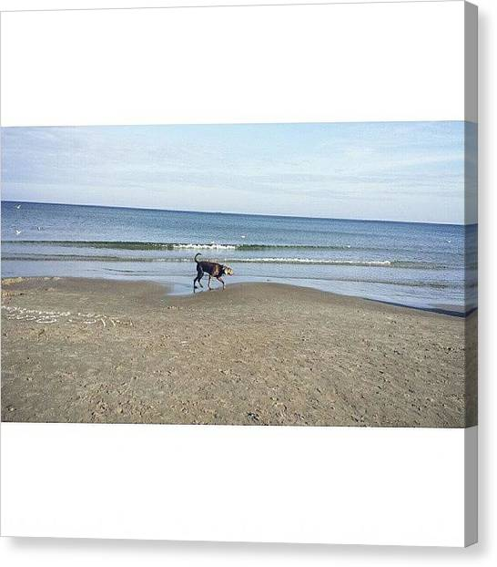 Weimaraners Canvas Print - Beachtime. #weimtime #weimlife by Til Effinghausen