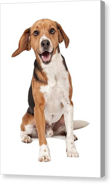 Beagles Canvas Print - Beagle Mix Dog Isolated On White by Susan Schmitz