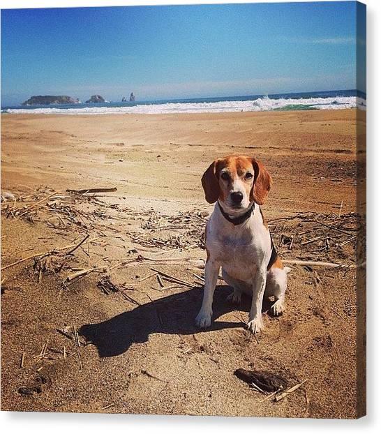 Beagles Canvas Print - #beagle #playa #beach #platja #perro by David Machado