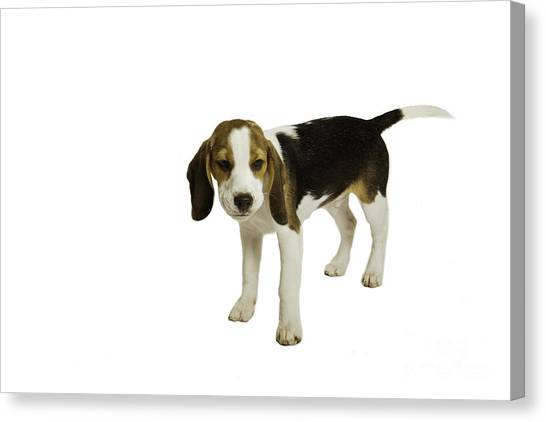 Beagle Puppy Canvas Print by Lesley Rigg