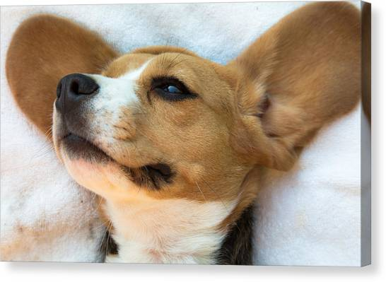 Beagles Dreams Canvas Print