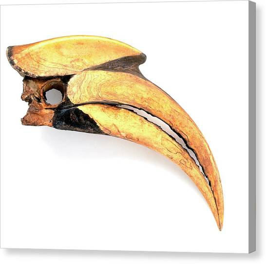 Hornbill Canvas Print - Beak Of Great Hornbill (buceros Bicornis) by Dorling Kindersley/uig