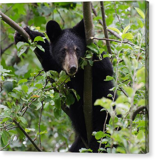 Brian Rock Canvas Print - Bear Cub In Tree by Brian Rock