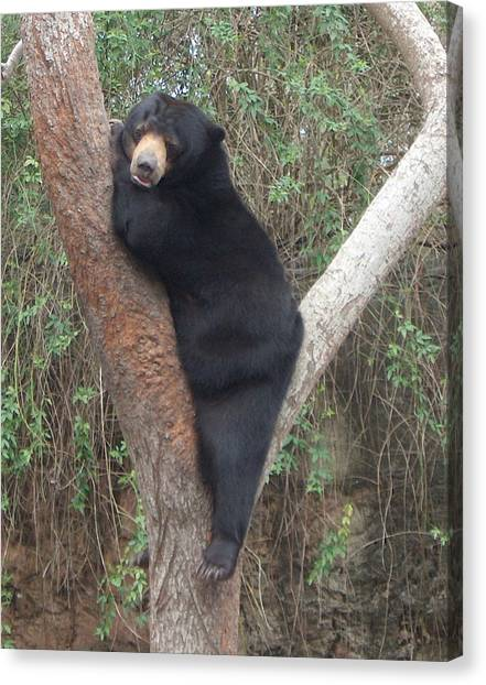 Bear In Tree   Canvas Print