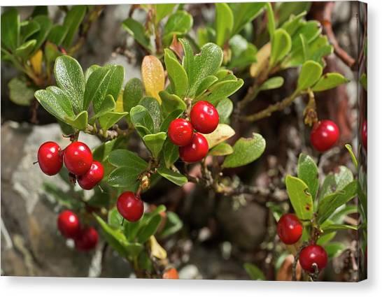 University Of Virginia Canvas Print - Bearberry (arctostaphylos Uva-ursi) Fruit by Bob Gibbons