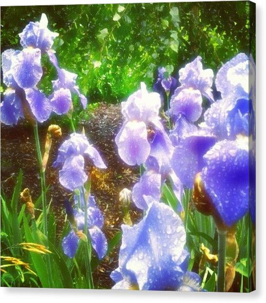 Irises Canvas Print - #bearded #irises #german #blue #flowers by M R M