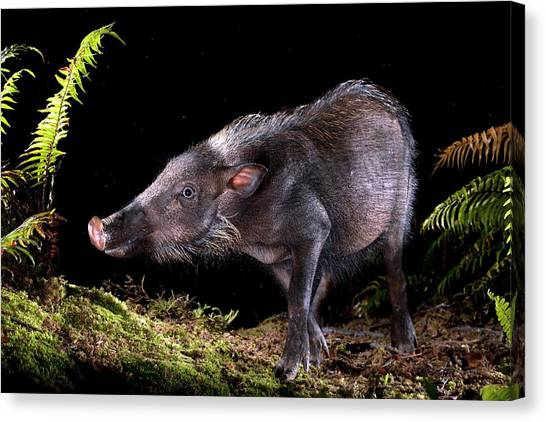 Tropical Rainforests Canvas Print - Bearded Pig Foraging At Night by Alex Hyde