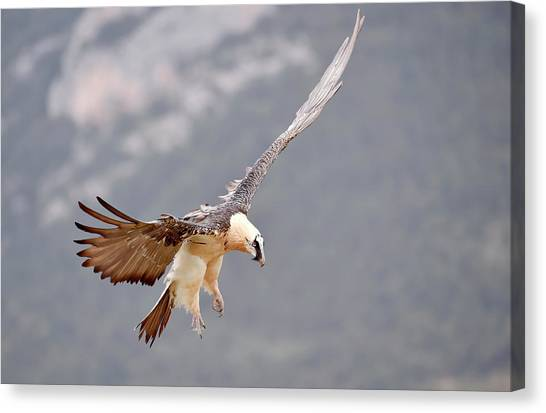 Vultures Canvas Print - Bearded Vulture by Dr P. Marazzi
